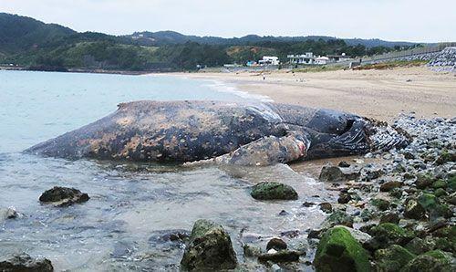 【沖縄】海岸にロープが巻きついたクジラの死骸 体長8.4メートル 土をかぶせて埋める/東村平良 YouTube動画>2本 ->画像>13枚